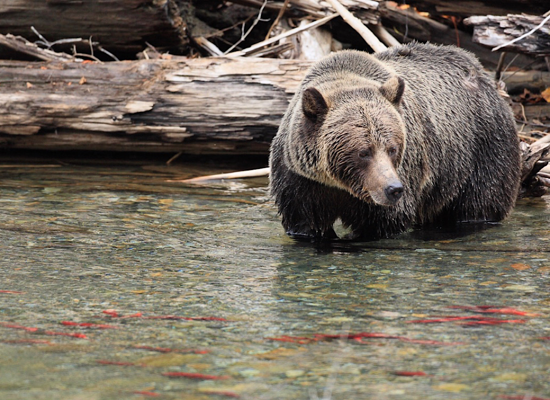 Track grizzly bears in the wilds of Canada.