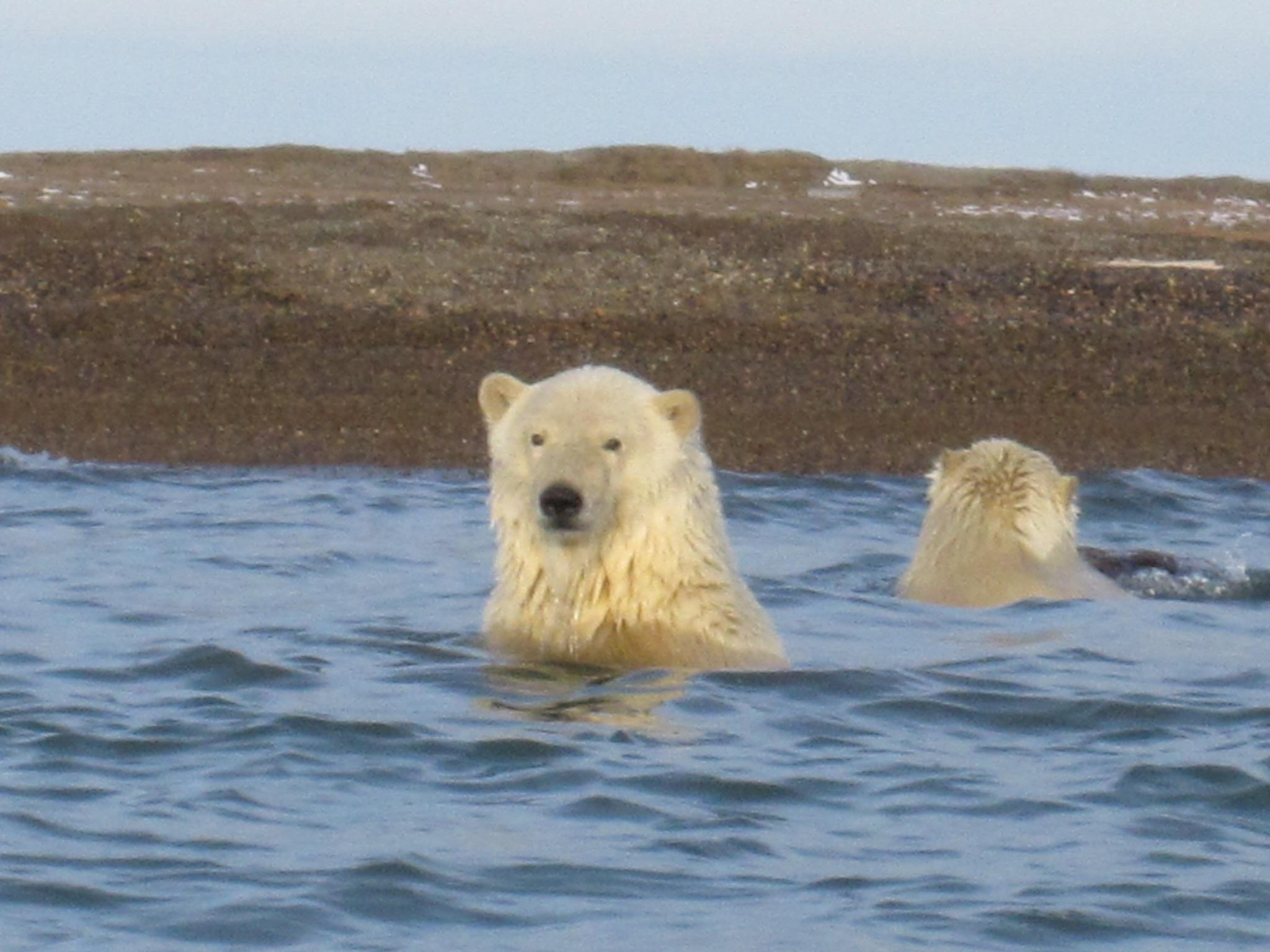 Witness Polar bears on foot in the Alaskan Arctic